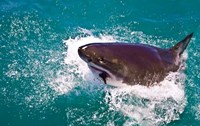 Great White Shark, Capetown, False Bay, South Africa Fine Art Print
