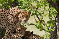 Cheetahs, Botswana Fine Art Print