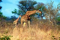 Adult and baby Cape Giraffe, (Giraffa camelopardalis giraffa), Kruger National park, South Africa Fine Art Print