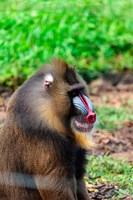 Africa, Cameroon, Limbe. Mandrill at Limbe Wildlife Center. Fine Art Print