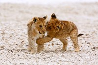 Africa, Two lion cubs play fighting on the Etosha Pan Fine Art Print