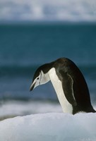 Chinstrap Penguin, Antarctica. Fine Art Print