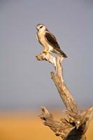 Africa, Naminia, Etosha NP, Black Winged Kite bird Fine Art Print
