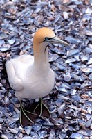 Cape Gannet on the Coast, South Africa Fine Art Print