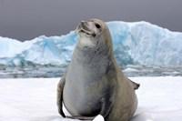 Crabeater seal, saltwater pan of sea ice, Antarctica Fine Art Print