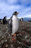 Gentoo penguin chick, Antarctica Fine Art Print