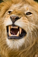 Africa, Kenya, Masai Mara, male lion bearing teeth. Fine Art Print