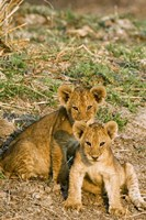 Africa, Tanzania, Katavi, lion cubs playing Fine Art Print