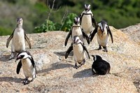 African Penguin colony at Boulders Beach, Simons Town on False Bay, South Africa Fine Art Print