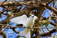 Fairy Turn bird in Trees, Fregate Island, Seychelles Fine Art Print