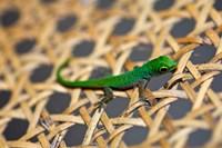 Gecko lizard, Seychelles Fine Art Print