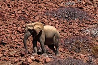 Africa, Namibia, Puros. Desert dwelling elephants of Kaokoland. Fine Art Print