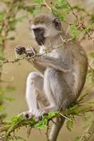 Africa. Tanzania. Vervet Monkey at Manyara NP. Fine Art Print