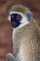 Africa. Tanzania. Vervet Monkey in Tarangire NP. Fine Art Print
