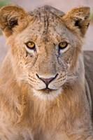 Africa. Tanzania. Young lion in Tarangire NP Fine Art Print