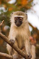 Africa; Malawi; Lengwe National Park; Vervet monkey Fine Art Print