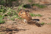 African Ground Squirrel Wildlife, Kenya Fine Art Print