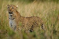 African Leopard hunting in the grass, Masai Mara Game Reserve, Kenya Fine Art Print
