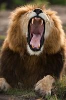 African Lion, Masai Mara GR, Kenya Fine Art Print
