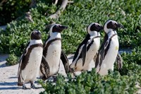 Group of African Penguins, Cape Town, South Africa Fine Art Print