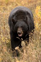Black Bear walking in brush, Montana Fine Art Print