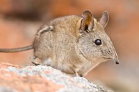 Cape Elephant Shrew, Bushmans Kloof, South Africa Fine Art Print