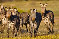 Cape Mountain Zebra, Bushmans Kloof, South Africa Fine Art Print