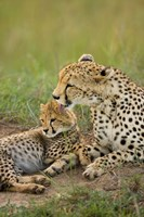 Cheetah with cub in the Masai Mara GR, Kenya Fine Art Print
