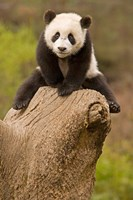 China, Wolong Panda Reserve, Baby Panda bear on stump Fine Art Print