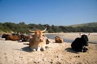 Cows, Farm Animal, Coffee Bay, Transkye, South Africa Fine Art Print
