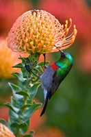 Double-collared Sunbird, South Africa-collared Sunbird, South Africa Fine Art Print
