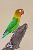 Fischer's Lovebird tropical bird, Ndutu, Tanzania Fine Art Print