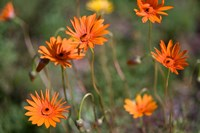 Orange Flowers, Kirstenbosch Gardens, South Africa Fine Art Print