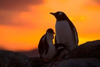 Gentoo Penguins Silhouetted at Sunset on Petermann Island, Antarctic Peninsula Fine Art Print