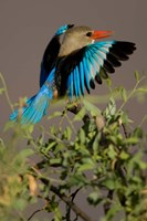 Grey-headed Kingfisher, Masai Mara GR, Kenya Fine Art Print