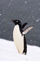 Adelie Penguin in Falling Snow, Western Antarctic Peninsula, Antarctica Fine Art Print