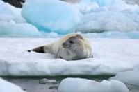 Crabeater seal lying on ice, Antarctica Fine Art Print