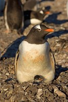 Gentoo penguin, South Shetland Islands, Antarctica Fine Art Print