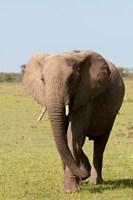 African Elephant, Maasai Mara, Kenya Fine Art Print
