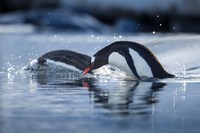 Antarctica, Anvers Island, Gentoo Penguins diving into water. Fine Art Print