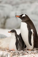 Antarctica, Petermann Island, Gentoo Penguins Fine Art Print