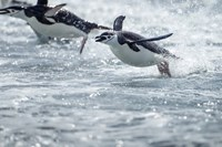 Antarctica, South Shetland Islands, Chinstrap Penguins swimming. Fine Art Print
