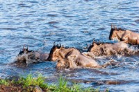 Blue wildebeest crossing the Mara River, Maasai Mara, Kenya Fine Art Print