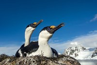 Blue-eyed Shags, Antarctica. Fine Art Print