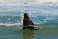 Cape fur seal, Arctocephalus pusilus, Skeleton Coast NP, Namibia. Fine Art Print