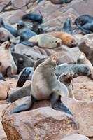 Cape Fur seals, Cape Cross, Skeleton Coast, Kaokoland, Namibia. Fine Art Print