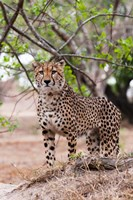 Cheetah, Kapama Game Reserve, South Africa Fine Art Print