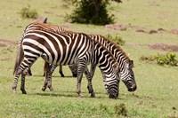 Zebra grazing, Maasai Mara, Kenya Fine Art Print