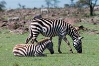 Common Zebra, Maasai Mara, Kenya Fine Art Print
