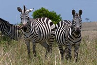 Common Zebra, Masai Mara National Reserve, Kenya Fine Art Print